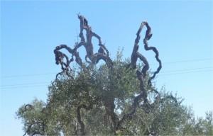 photo JCK. Un olivier dans les Pouilles
